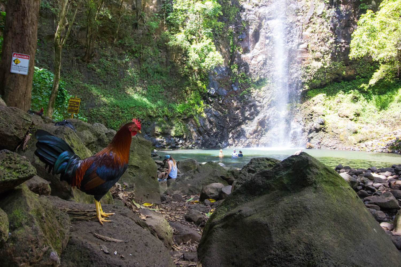 Hawaii Kauai Chickens