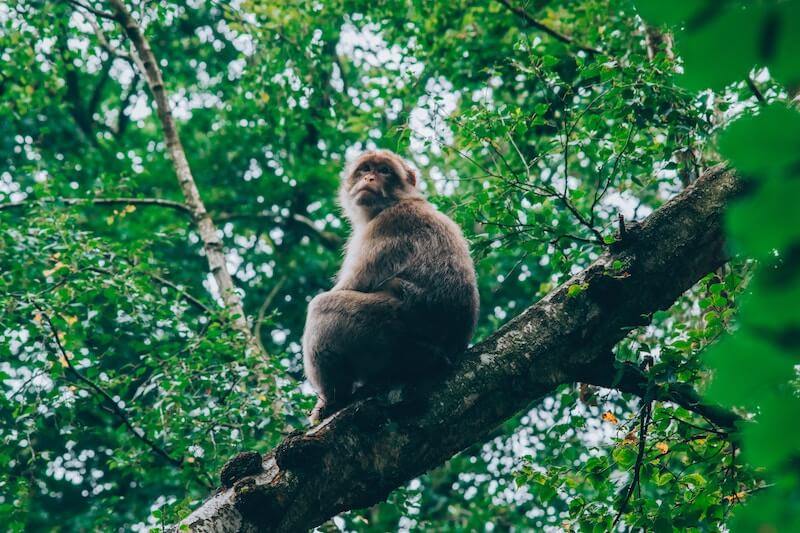 A Barbary macaque sitting in a tree