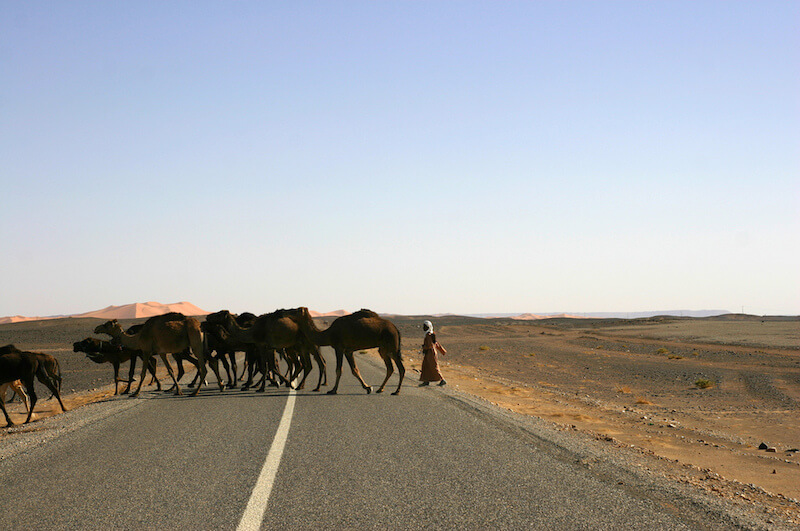 Camels in the road