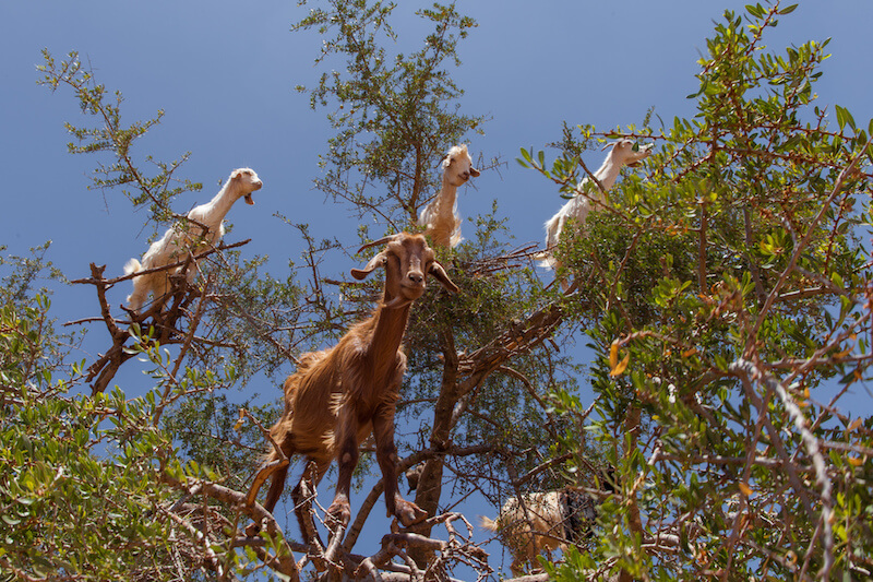 Goats sitting in a tree