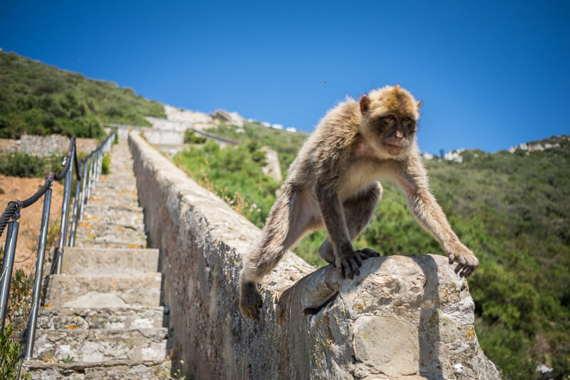 A Barbary macaque in Gibraltar
